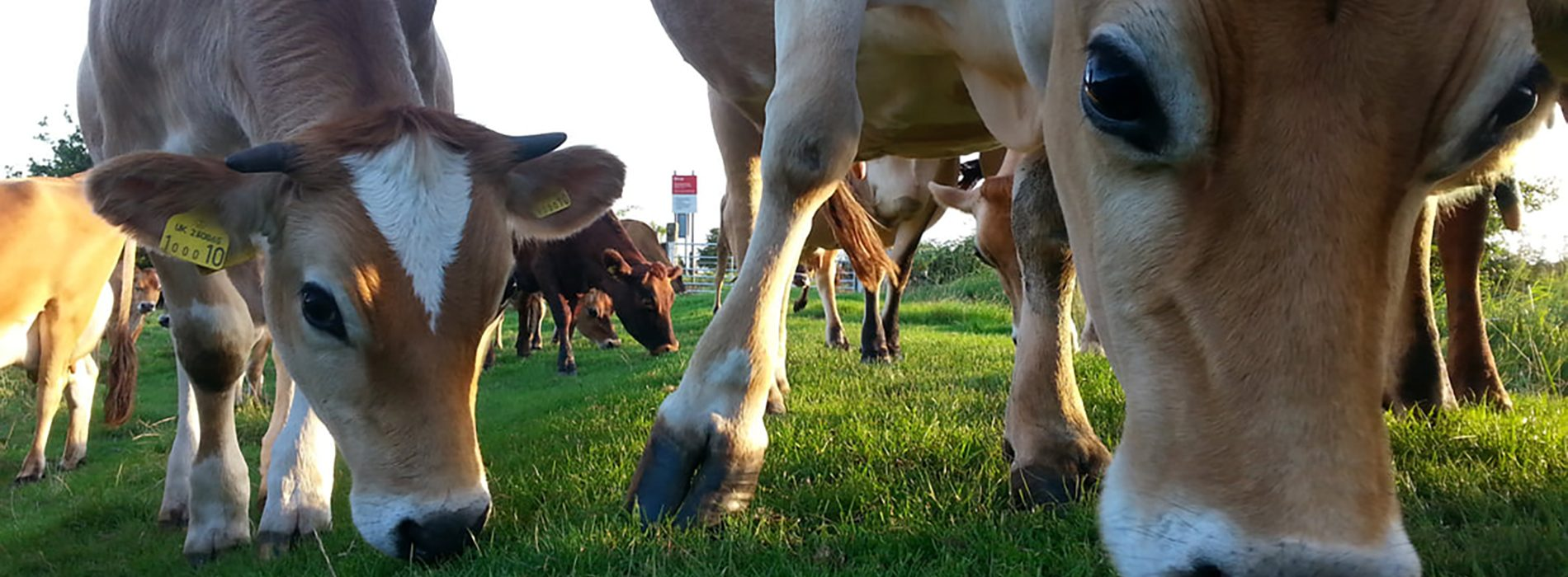 Image of grass-fed dairy cow and calf at foot